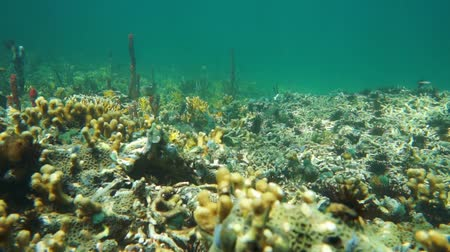 csibész : Coral reef underwater, left part untouched, right part damaged by storm waves, Caribbean sea, Panama, Central America, 50fps