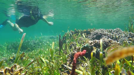 A man snorkeling on a shallow coral reef with sponges and seagrass, underwater scene, Caribbean sea, 50fps Стоковые видеозаписи
