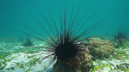 Close up view of a long spined sea urchin underwater, Caribbean sea, 50fps Стоковые видеозаписи