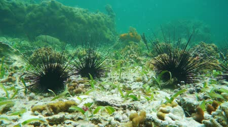 csibész : Long spined sea urchins underwater on the seabed with coral in background, Caribbean sea, Panama, Central America, 50fps