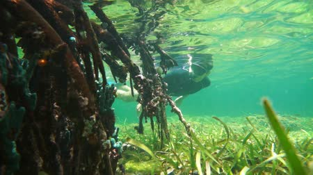 şnorkel : Mangrove roots underwater with a man snorkeling, Caribbean sea, Panama, Central America, 50fps Stok Video