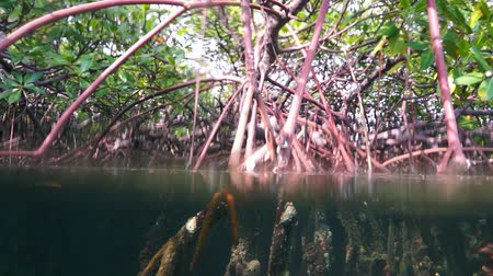 mangrove trees : Mangrove under and over the water surface, Caribbean sea, 50fps