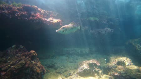 américa central : A scrawled filefish underwater on a shallow reef with sunbeams through water surface in the Caribbean sea