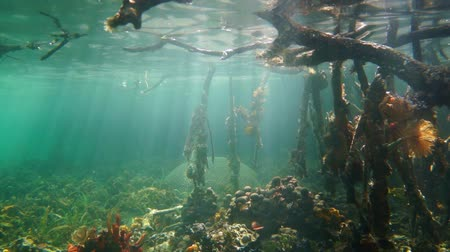 saltwater : Sea life and sunlight underwater in the mangrove, Caribbean sea, Panama, Central America, Bocas del Toro