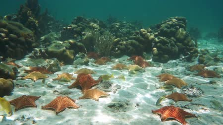 reticulatus : Cushion starfishes underwater on the sand with some tropical fish and corals in background, natural light, Caribbean sea, 50fps Stock Footage