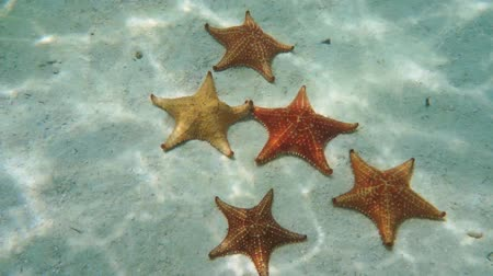reticulatus : Five Cushion starfish underwater on a sandy seabed, natural light, Caribbean sea