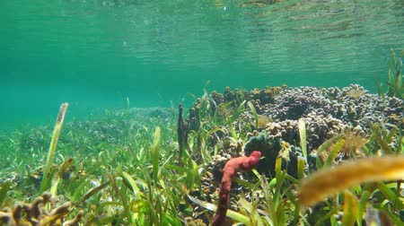 Underwater a shallow seafloor with seagrass, coral and sea sponge in the Caribbean sea, natural light, 50fps
