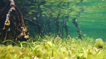 Underwater a shallow seabed with seagrass and mangrove roots below water surface, Caribbean sea, 50fps Стоковые видеозаписи