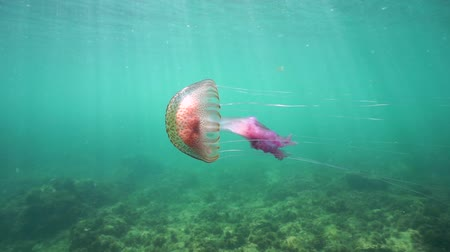 cor de malva : A jellyfish Pelagia noctiluca underwater in the Mediterranean sea, natural light, Cote dAzur, France, 60fps