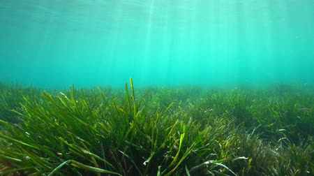 endemic : Underwater a grassy seabed with natural sunlight in the Mediterranean sea, Neptune grass Posidonia oceanica, Costa Brava, Catalonia, Spain