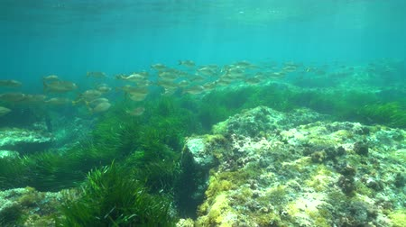 almeria : Underwater a school of fish (dreamfish Sarpa salpa) with seagrass and rock on a shallow seabed, Mediterranean sea, Cabo de Gata-Níjar natural park, Almeria, Andalusia, Spain Stock Footage