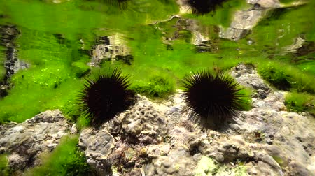 spiny : Two sea urchins, Paracentrotus lividus, on rock below water surface with sea lettuce green alga, Mediterranean sea, underwater scene, Cap de Creus, Costa Brava, Catalonia, Spain
