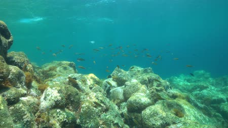 marine park : A shoal of fish, ornate wrasse, Thalassoma pavo, with rock underwater in the Mediterranean sea, La Isleta del Moro, Cabo de Gata-Níjar natural park, Almeria, Andalusia, Spain Stock Footage