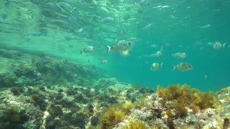 nyereg : Mediterranean sea underwater a shoal of fishes below water surface (mostly saddled and white seabream fish ), Denia, Alicante, Costa Blanca, Spain