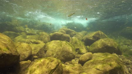 общий : Stream underwater with rocks and small fish Eurasian minnow, Phoxinus phoxinus, La Muga, Girona, Alt Emporda, Catalonia, Spain