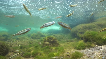 pireneusok : River underwater with a shoal of small fishes (mostly Eurasian minnow, Phoxinus phoxinus),  La Muga, Girona, Alt Emporda, Catalonia, Spain