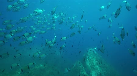 banded : Underwater Mediterranean sea shoal of fish, common two-banded sea bream, Diplodus vulgaris, marine reserve of Cerbere Banyuls, Pyrenees-Orientales, Roussillon, France