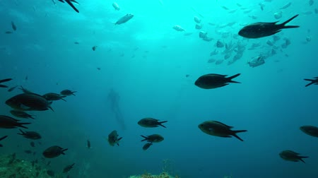 cote : Shoal of fish underwater in the Mediterranean sea, damselfish in foreground with sea bream and a freediver in background, marine reserve of Cerbere Banyuls, Pyrenees-Orientales, Roussillon, France Stock Footage