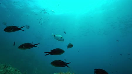 společenská místnost : Shoal of fish in the Mediterranean sea (two-banded sea bream and some damselfish) seen from the seabed, marine reserve of Cerbere Banyuls, Pyrenees-Orientales, Roussillon, France Dostupné videozáznamy