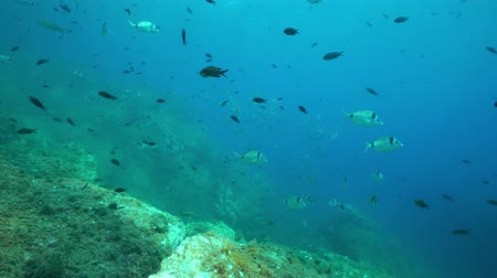 roussillon : Underwater Mediterranean sea fishes, common two-banded sea bream Diplodus vulgaris and Mediterranean damselfish Chromis chromis, France