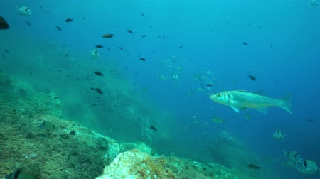 labrax : Mediterranean fishes underwater sea with common two-banded sea bream, damselfish and an european bass, marine reserve of Cerbere Banyuls, Pyrenees-Orientales, Roussillon, France