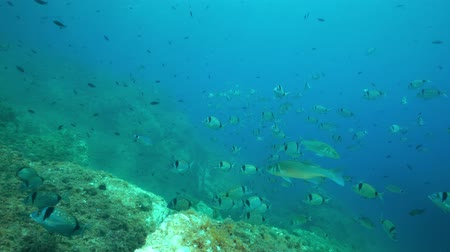 společenská místnost : A shoal of fishes underwater in the Mediterranean sea, mostly common two-banded sea bream and european bass with damselfish, marine reserve of Cerbere Banyuls, Pyrenees-Orientales, Roussillon, France Dostupné videozáznamy