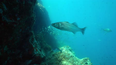 labrax : Various species of fishes with rock in the Mediterranean sea ( damselfish, seabreams, european bass), underwater scene, marine reserve of Cerbere Banyuls, Pyrenees-Orientales, Roussillon, France Stock Footage