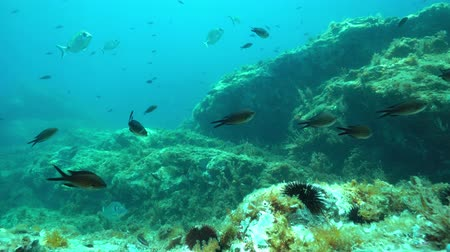 shoal of fish : Fishes underwater in the Mediterranean sea ( mostly damselfish and seabreams) with rock, France
