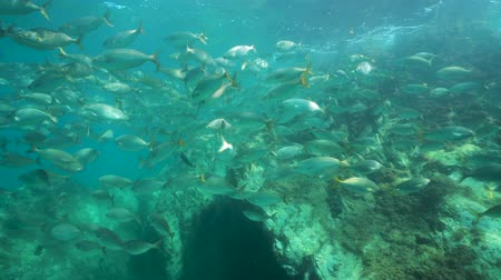 alpes : Underwater a shoal of fish with rock below water surface in the Mediterranean sea (dreamfish Sarpa salpa), Cote dAzur, France Stock Footage