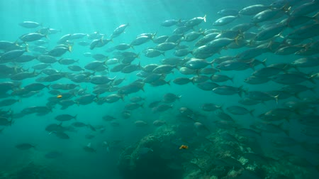 alpes : Fish school underwater in the Mediterranean sea (dreamfish Sarpa salpa), Cote dAzur, France Stock Footage