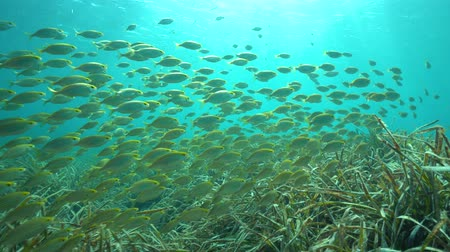 kráva : A school of fish with seagrass underwater in the Mediterranean sea ( dreamfish Sarpa salpa and neptune grass Posidonia Oceanica ), Costa Brava, Spain Dostupné videozáznamy
