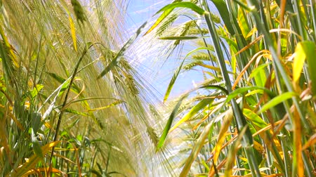 hay harvest : Wheat field, view from ground level. Roots and leaves of wheat and rye spikelets. The path between rye and wheat
