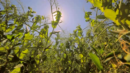 pea pods : Green peas grow in the field against the blue sky and the sun that shines into the camera. View from bottom to top Stock Footage