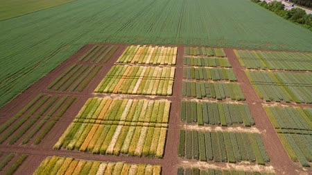 agronomist : Studies of rye and wheat varieties. Flying over the field of plots for crop research. Scientists are testing the effect of diseases on rye and wheat