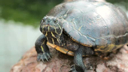 perching : Turtle is sitting on the stone close-up. Stock Footage