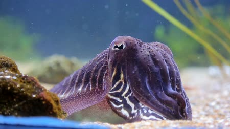 faraon : Sea cuttlefish is covered by bright colors in the close-up, sitting on the seabed, surrounded by seaweed.