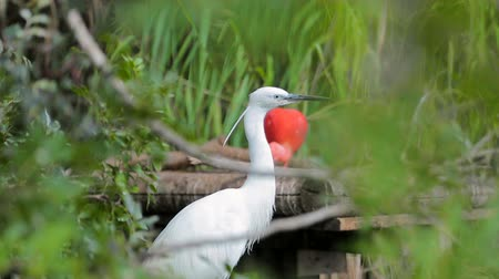 blízkost : White heron is in close proximity in the green grass, and watches. Dostupné videozáznamy