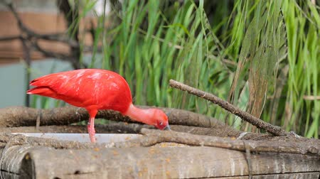 ornitologie : Red ibis Eudocimus ruber with its beak skillfully eats small fish. Nutrition in the wild.
