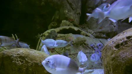 bluefish : Blue fish on the bottom of the ocean float between the stones while looking for food Stock Footage