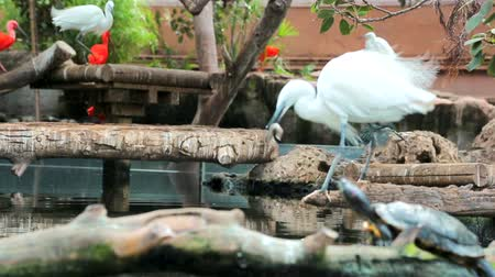 cow flies : The white heron takes fish out of the water, but begins to eat its prey. Nutrition in the wild