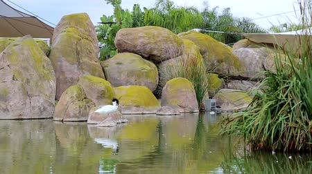 animal themes : Rocky white duck with a black head standing on a stone in a lake, oceanography, Valencia, Spain