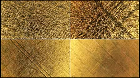 peyzajlı : Collage aerial Top down view of golden wheat gently. A collage of 4 video footage of golden wheat is shot with a dron from the height. Stok Video