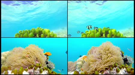 banded : Collage Ocean scenery on shallow coral reef. Underwater video of the ocean. Small fish swim erratically and hidden by algae. Colored corals and fish in the Maldives.