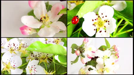 seeding : Ladybug on blossom pears rotating on a white background. Video 360 Stock Footage