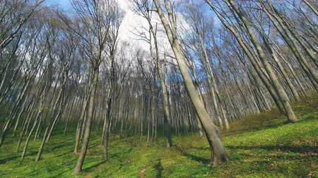 dead forest : Background of trees in the forest. Panorama of trees on the wide angle of the lens . Forest glade, with green grass and tall trees
