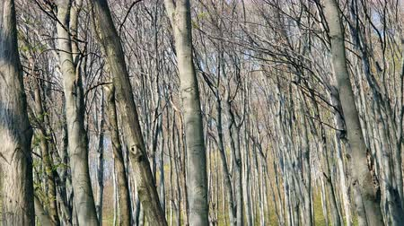 dead wood : Background Panorama of the trees in the spring forest Stock Footage