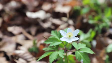 ジャスミン : Small white spring forest flower on green lawn close up