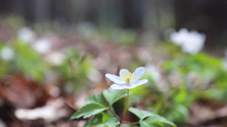 camomila : Small white spring forest flower on green lawn close up