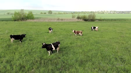 cielęcina : Aerial view of cows on a farm. Group of cows calmly walking and chewing grass on a bright green meadow