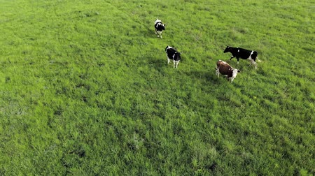 송아지 고기 : Aerial view of cows on a farm. Group of cows calmly walking and chewing grass on a bright green meadow